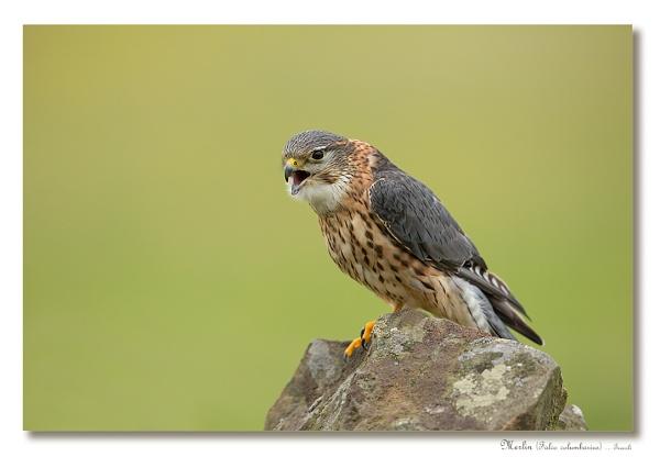 Merlin (Falco columbarius) by teocali