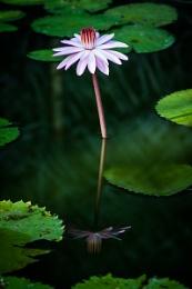 Sri Lanka Lily
