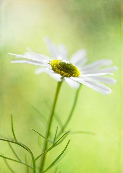 Mayweed ( Tripleurospermum ) by JanieB43