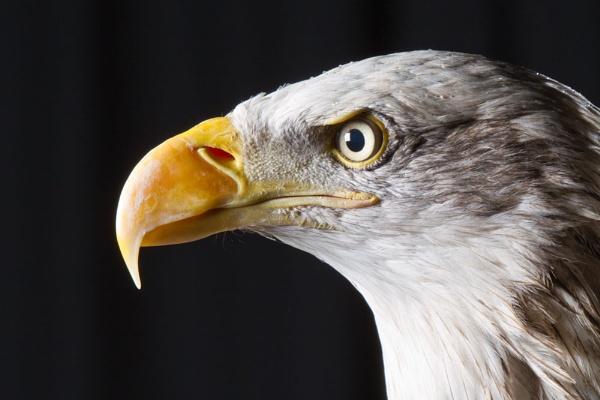 Alaskan Bald Eagle by Geofferz