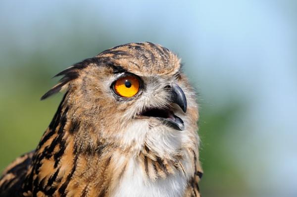 Eagle Owl by Malty