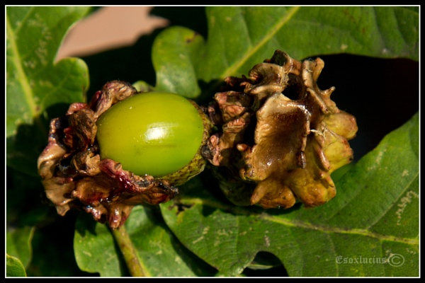 Knopper Gall by esoxlucius