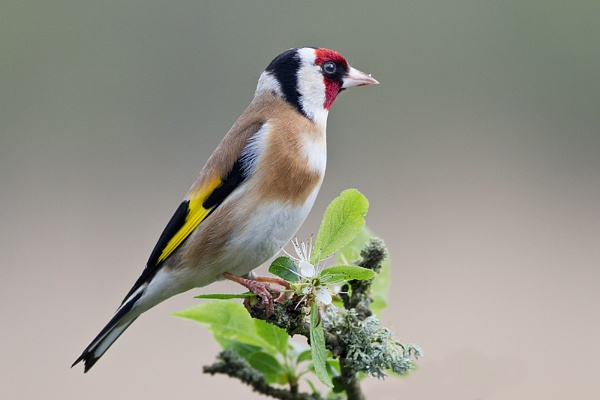 Goldfinch by Brian65