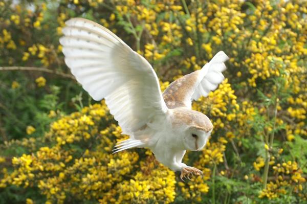 Barn Owl Pouncing by Alfies_Girl