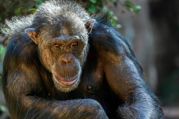 Chimpanzee sitting in a zoo by Phil_Bird