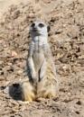 Meerkat on guard duty by Davlaw