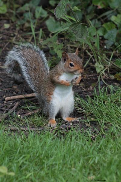 Cheeky squirrel by elliemoo