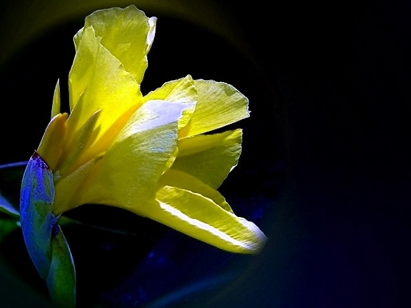""" YELLOW GLADIOLUS \"" by abssastry"