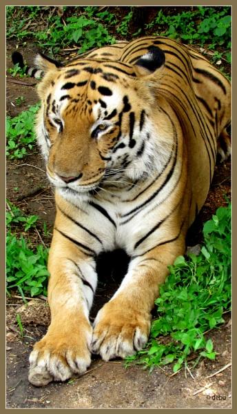 Indian Tiger... by debu