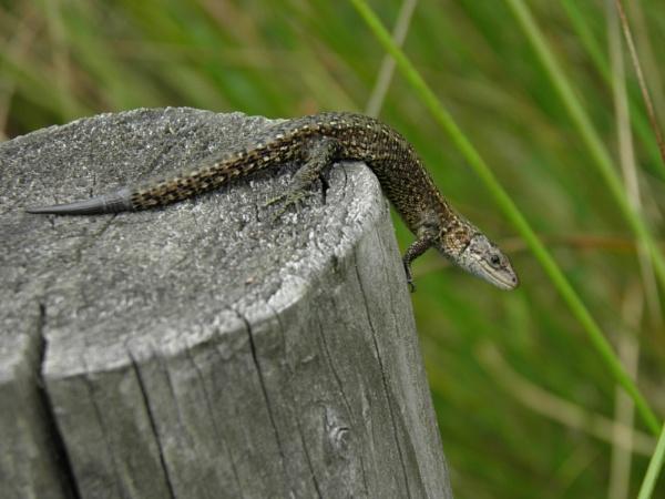Common lizard by longhoss