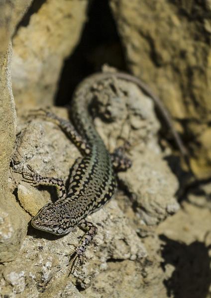 Lizard by ajhollingbery