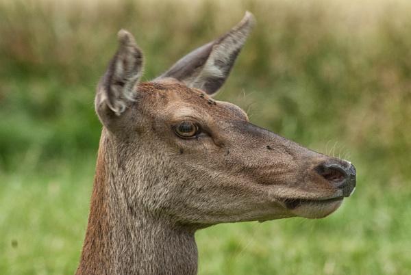 Red Deer Profile by Flash_Wiz