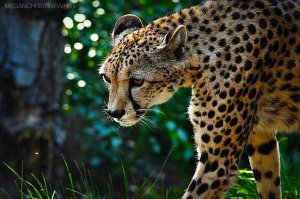 Cheetah! by Meganwhitephotography