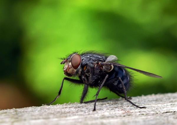 Resting Fly by johnmac