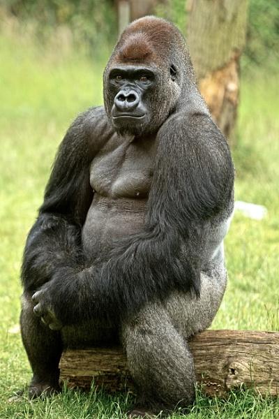Gorilla @ London Zoo by pf