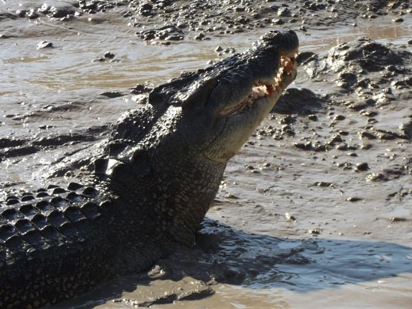 Crocodile Northern Territory by Jocelia