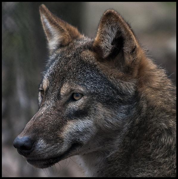 European Wolf by Franko59