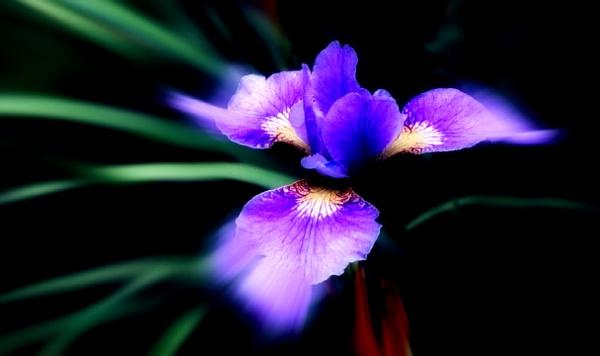 Iris. by marlin50