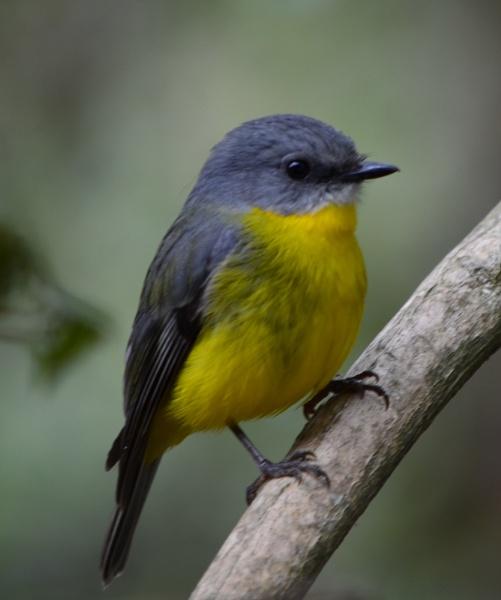 Australian eastern robin by sooty_59
