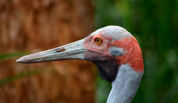 Australian Crane ( Brolga) by sooty_59