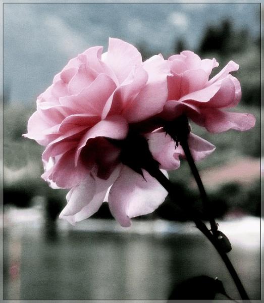 Pink Roses by Madjax