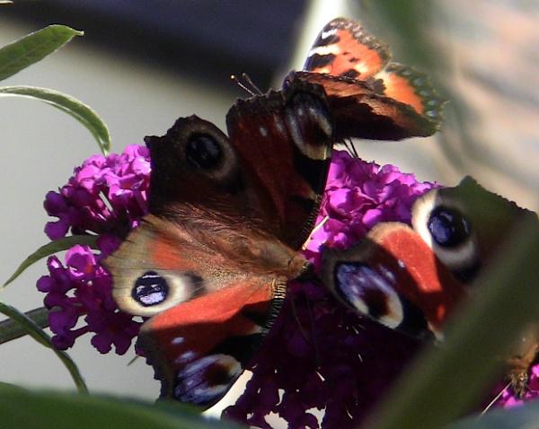 Butterfly mayhem. by ddolfelin