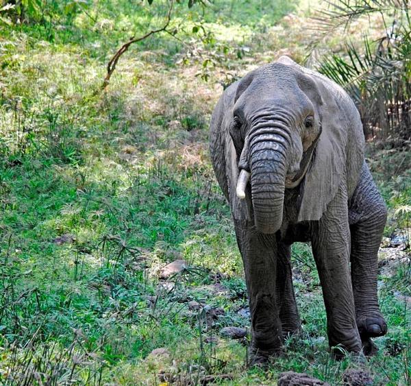 African Elephant by Jaliya