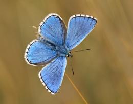 Adonis Blue Male