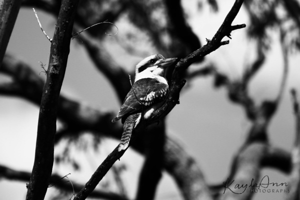 Kookaburra by kayla_ann