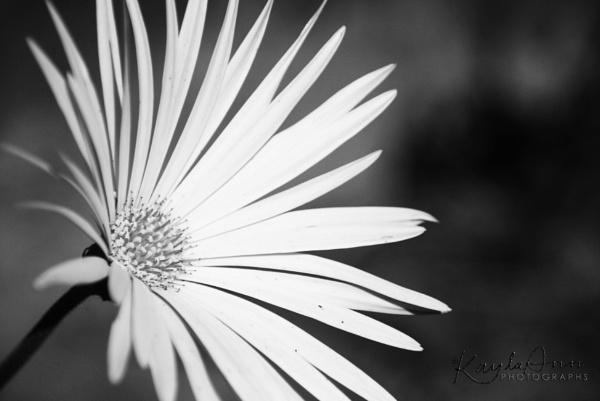 B+W flower by kayla_ann
