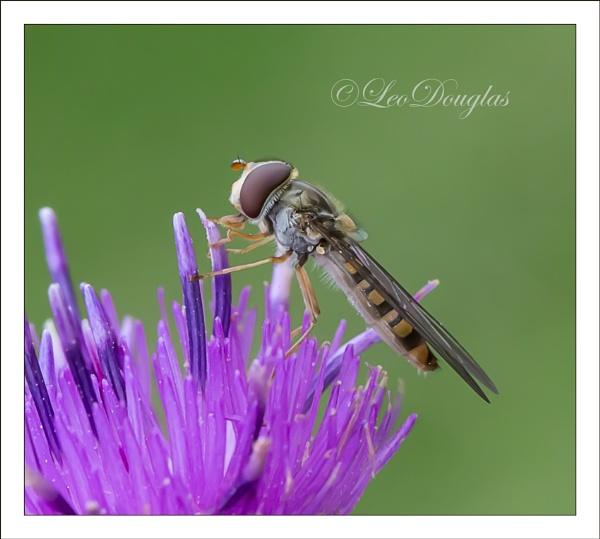 Hoverfly on Knapweed by GeordieDoug