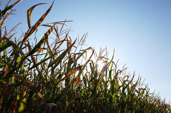 Corny one by josa