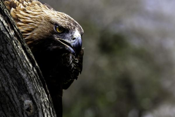 Eagle Eyed by Bevlad