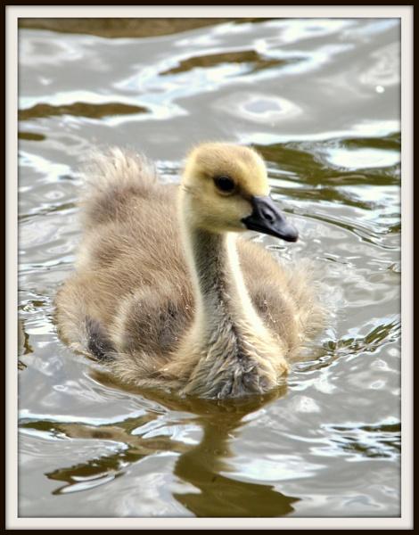 Fluffy Gosling by elizabethapike62
