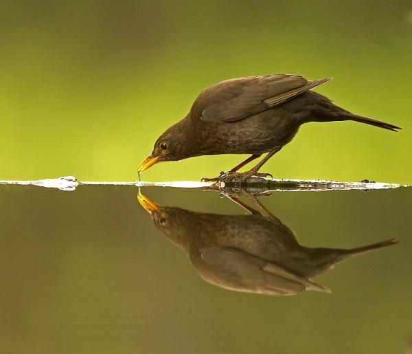 Blackbird by katholdbird