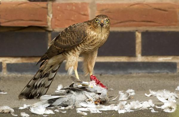 Sparrowhawk by katholdbird