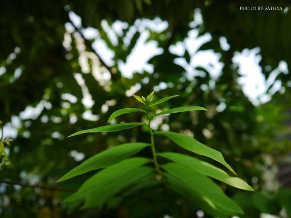 Green Leaf by sathyababu