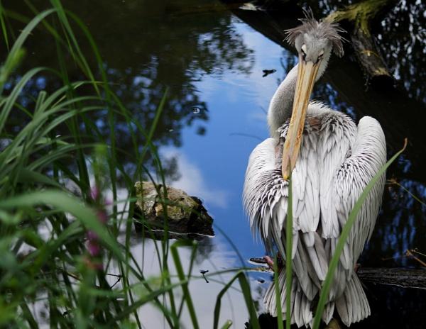 Pelican by Raamir
