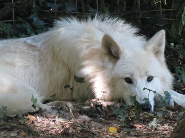 White wolf by kanash