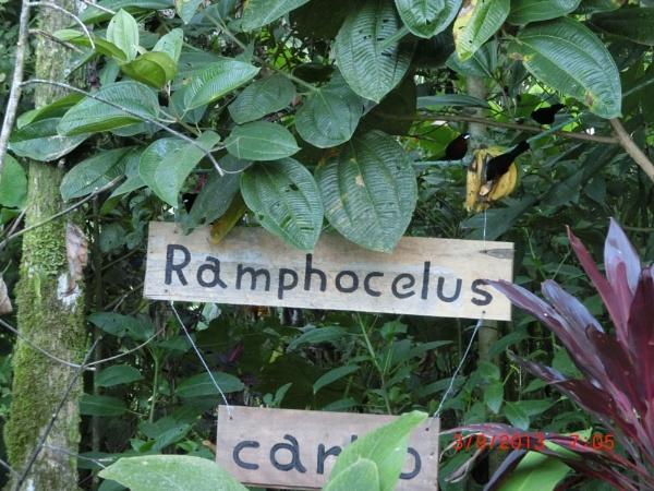 RAMPHOCELUS CARBOS