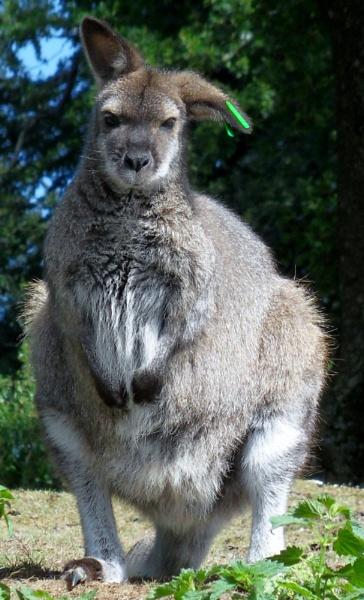 wallaby by hannah0803