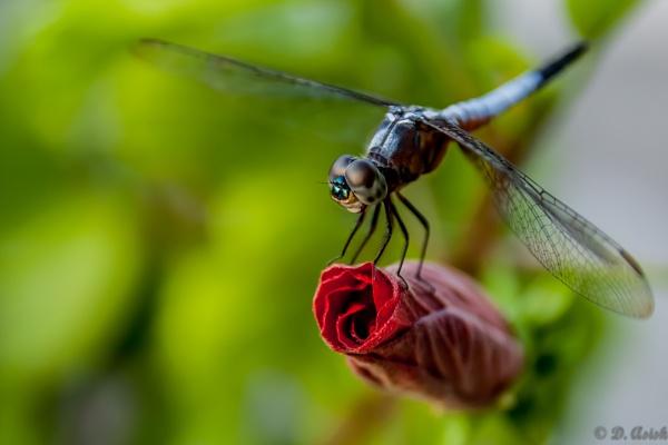 The Dragon Fly by asishdas1985