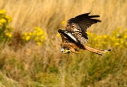 Feeding Kite