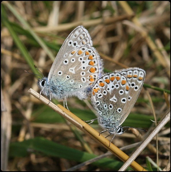 Mating Common Blues by Glostopcat