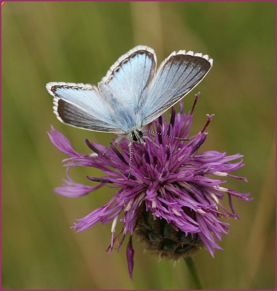 Prestbury Hill Butterflies III by Glostopcat
