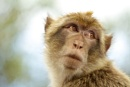 Barbary Macaques are a species of tailless monkeys