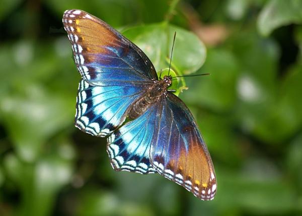 Blue butterfly by wsteffey