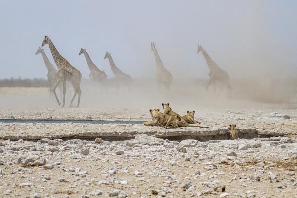 Giraffes in dust storm by davemck