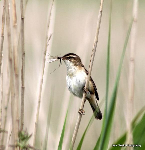 Sedge Warbler by johnlwadd