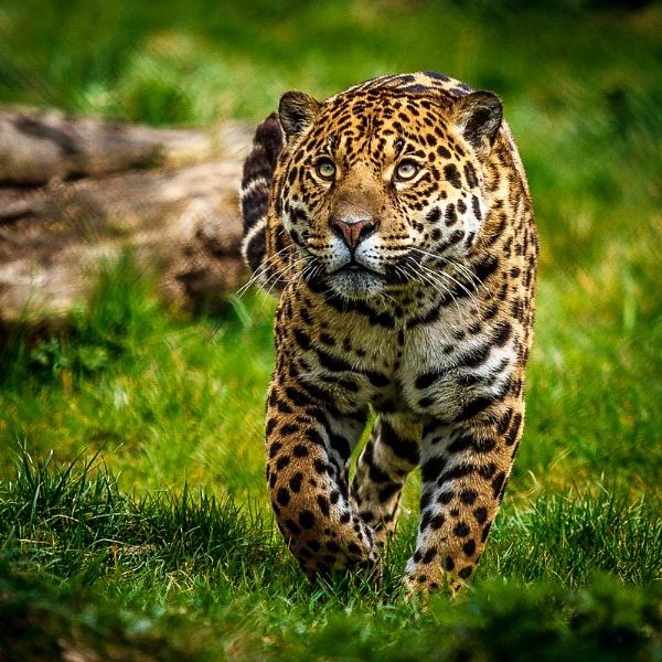 Prowling Jaguar by AllanP